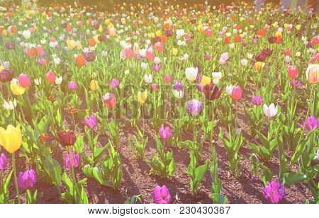 Color Flowered Bed With Tulips In Philadelphia City Center, Pennsylvania, The Usa. Sunlight Toned