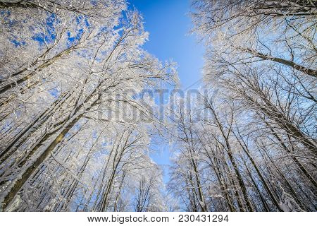 Top Of The Trees In The Deciduous Forest In The Winter Time With Clear Blue Sky.
