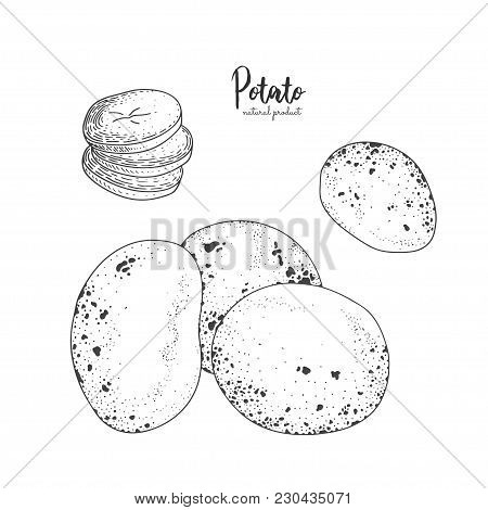 Potato Hand Drawn Vector Illustration. Isolated Vegetable Engraved Style Object. Detailed Vegetarian