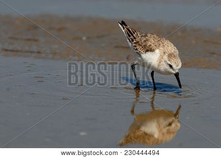A Small Species Of Plover Sifts The Water In A Shallow Tidal Pool While Its Reflection Watches Lazil