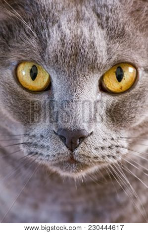 Grey Cat With Yellow Eyes Staring Intently