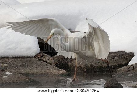 Great White Heron In White Snow Wind During Cold Winter. Wildlife Scene From Nature. Snow Storm With