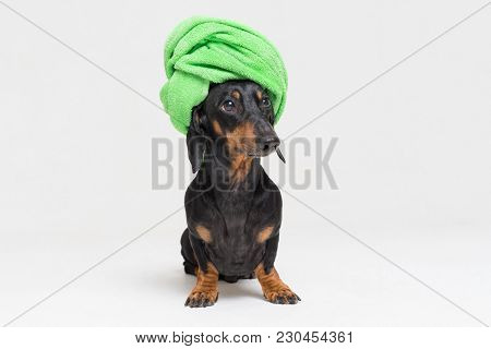 Portrait Of An Adorable Dog (puppy) Of The Dachshund  Breed, Black And Tan, On Isolated On Gray  Bac