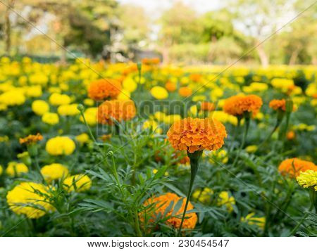 Orange And Yellow Marigold Flowers Or Zinnia Flower Blooming In Garden. (tagetes Erecta, Mexican Mar