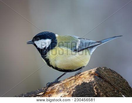 Garden Bird Great Tit (parus Major). Sitting On A Branch. Natural Background