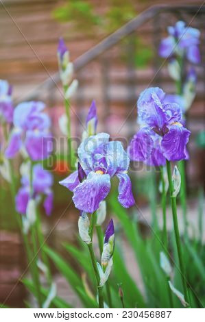 Blooming Cornflag Flower In The Garden In Brecon Beacons In South Wales In The South Of Wales Of The