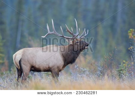 Large Bull Elk Trumpeting In A Colorful Autumn Meadow, Breath Showing In Cold