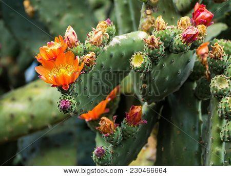Flowering Prickly Pear Cactus Grown In New Zealand.