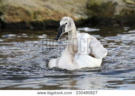 Young Trumpeter Swan Action In The Water