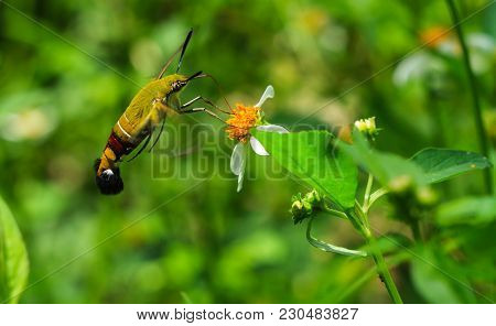 Hemaris Fuciformis Sphingidae Moth, Known As Bee Hawk-moth, Enjoying The Nectar Of A White And Yello