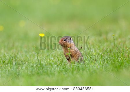 Richardson Ground Squirrel Peering From Burrow With Yellow Flowers On Grass