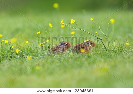 Two Ground Squirrels In The Dew Covered Grass In Mount Robson Park
