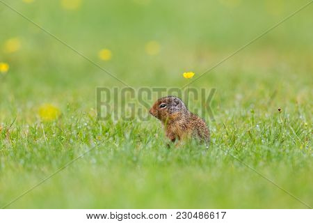 Richardson Ground Squirrel With Yellow Flowers On Grass