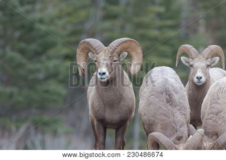 Rocy Mountain Sheep With Pine Branch Stuck In One Horn And Forest Background With Group
