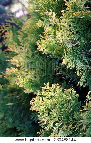 Layers Of Green Conifers In Spring In Minnesota