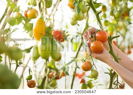 Closeup Of Woman's Hands Harvesting Fresh Organic Tomatoes In Her Garden On A Sunny Day. Farmer Pick