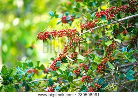 The Ilex Aquifolium Shrub With Bright Red Berries On Blurred Green Background On A Sunny Day.