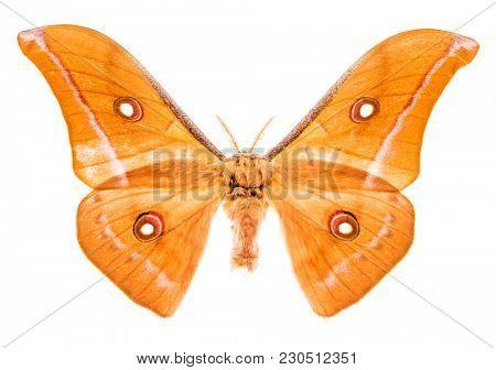 Antheraea godmani moth isolated on white background