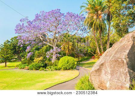 Blooming jacaranda tree in the park, Sydney, New South Wales, Australia