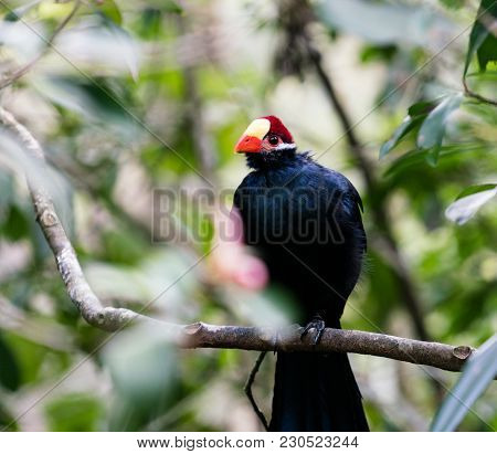 Large Violet Turaco Or Violaceous Plantain Eater African Bird Perched In A Tree