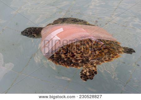 Health Wound Treat Green Turtle Chelonia Mydas In The Pond