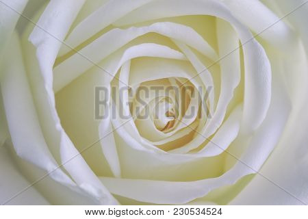 Beautiful Sweet White Roses In Close Up View Macro Concept To Present Rose Texture And Pattern For B