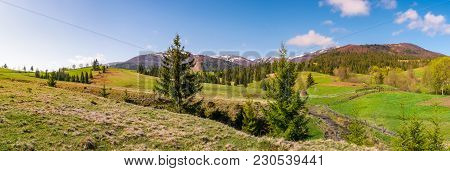 Panorama Of Mountainous Landscape In Springtime. Lovely Scenery With Spruce Trees On Grassy Hillside