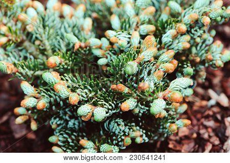 Abies koreana Kohouts Icebreaker, new dwarf cultivar of Korean fir with silvery curvy needles poster