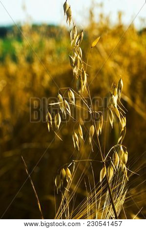 Close-up Of Oats In The Field. The Oats Of The Sowing Season Are Divided Into Membranous And Holed.