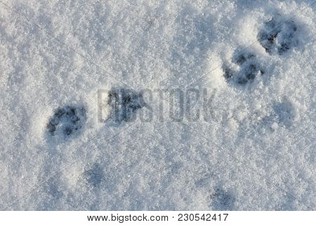 Paw Imprint. Footprints In The Snow. Fingerprint Of Cats. Paws Of An Animal. Winter Background.