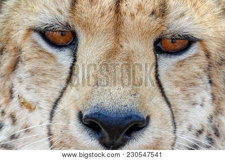 Cheetah In Etosha National Park In Namibia