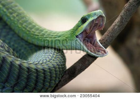 Boomslang Snake