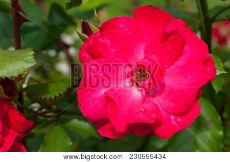 Rose Flower, Closeup View. Summer Flower Of Red Rose Blooming In The Garden. Rose Flower, Closeup Of