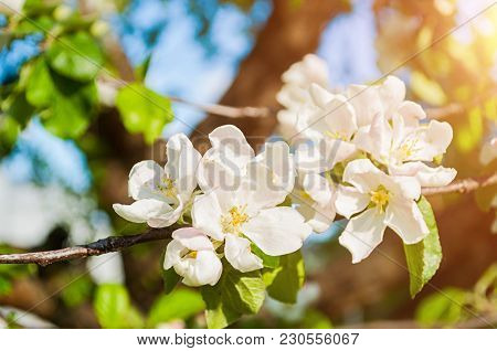 Spring Flowers Of Blooming Spring Apple Tree. Natural Spring Flower Landscape With Spring White Appl