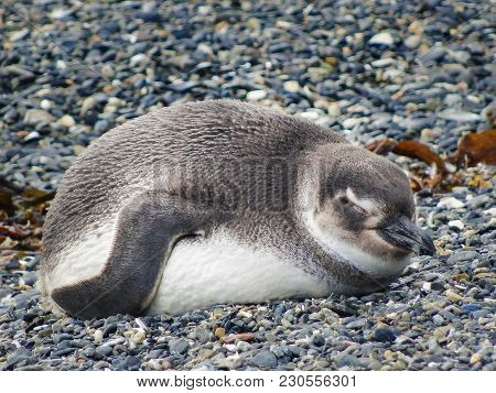 The Magellanic Penguin On The Islands Of Tierra Del Fuego Islas De Tierra Del Fuego