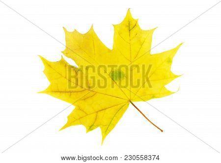 Dry Autumn Maple Leaf Isolated On White Background