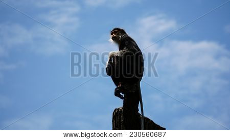 Red-shanked Douc Monkey Sitting On Tree Top With Sky Background, Business Concept