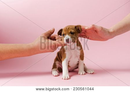 Human Support Little Dog Chin And Pet At Pink Background. Two Hands Touch Muzzle Of Basenji Puppy.