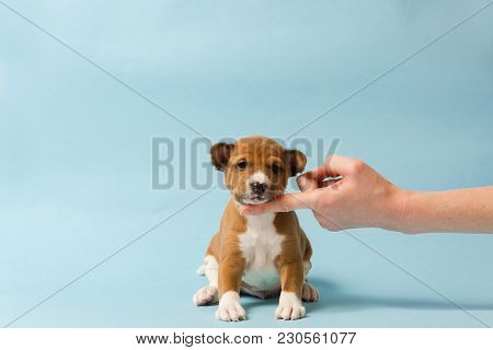 Small Cute Dog At Blue Isolated Background. Human Hand Support Chin Of Basenji Puppy.