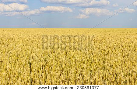 Landscape With A View Of The Field With Ripe Wheat