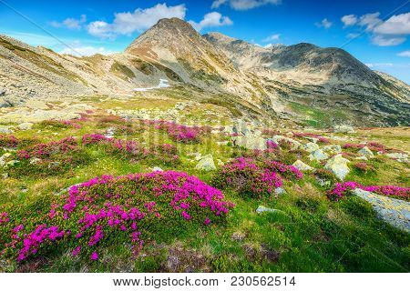 Breathtaking Mountain Pink Rhododendron Flowers And Alpine Peaks In Background, Retezat Mountains, C