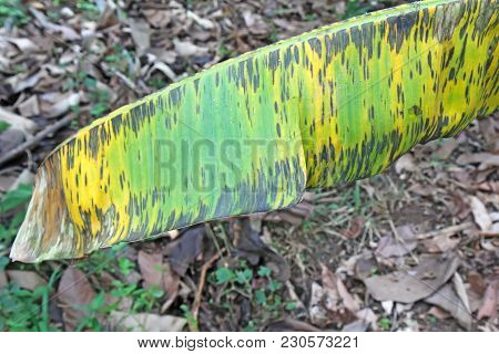 Symptoms Of The Fungal Disease Black Leaf Streak (blsd) Or Sigatoka Caused By Pseudocercospora (syno