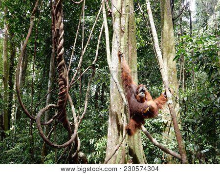 An Orangutan In The Jungle Of Sumatra, Indonesia
