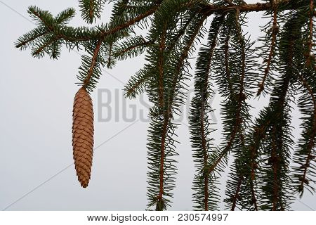 Branches Of A Spruce Tree With A Cones Hanging From It