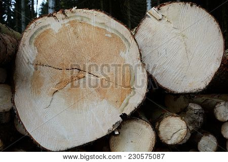 Cut Surface Show Annual Rings Of Felled And Stacked Spruce Trees