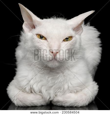 Close-up Narrow-eyed Sphynx Cat With White Fur Lying And Sly Looking In Camera Isolated On Black Bac