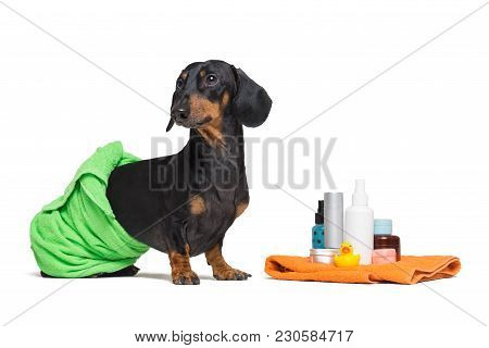 Lovely Dog Dachshund, Black And Tan, Wrapped In A Green Towel, After Showering With A Rubber Yellow