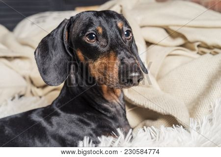 Close Up Portrait Of Dog Breed Of Dachshund, Black And Tan, In Bed Getting Ready For Sleep
