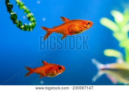 Small Beauty Ember Tetra Or Hyphessobrycon Amandae In Planted Tropical Fresh Water Aquarium