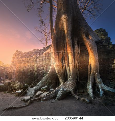Giant Tree On The Building Of Ta Prohm Temple In Angkor Wat Complex Siem Reap, Cambodia